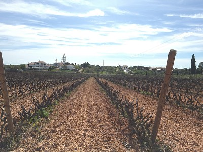 Productive Vineyard for Sale near  Carvoeiro, Portugal,  with Income Potential