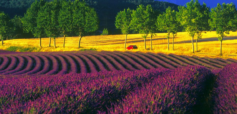 Lavender fields in Provence close to our French chateaux for sale.
